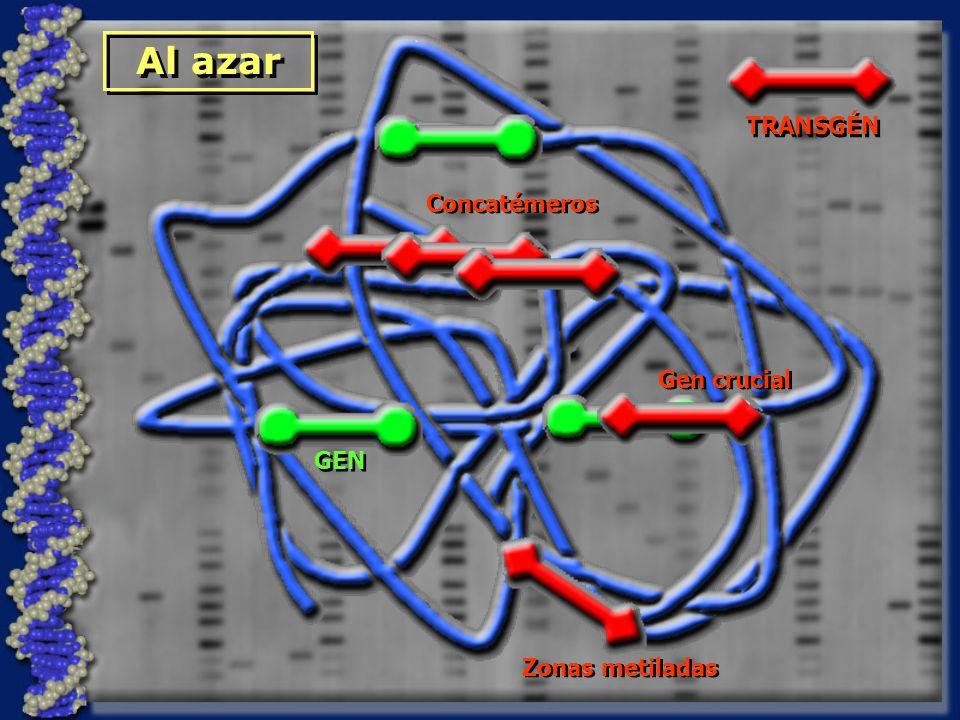 GEN Al azar TRANSGÉN Concatémeros Gen crucial Zonas metiladas