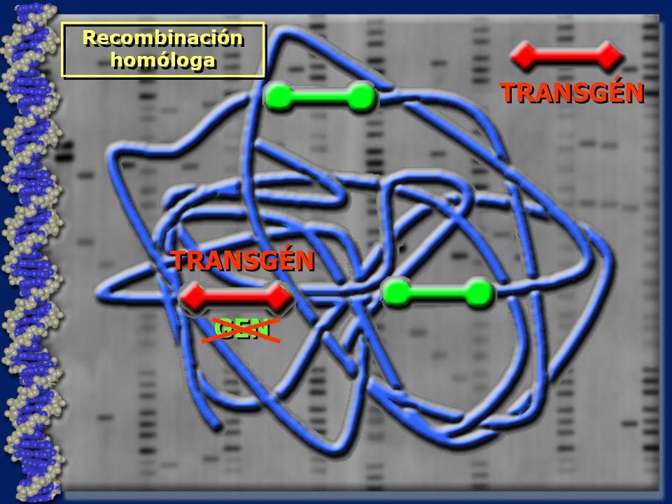 GEN TRANSGÉN Recombinación homóloga Recombinación homóloga TRANSGÉN
