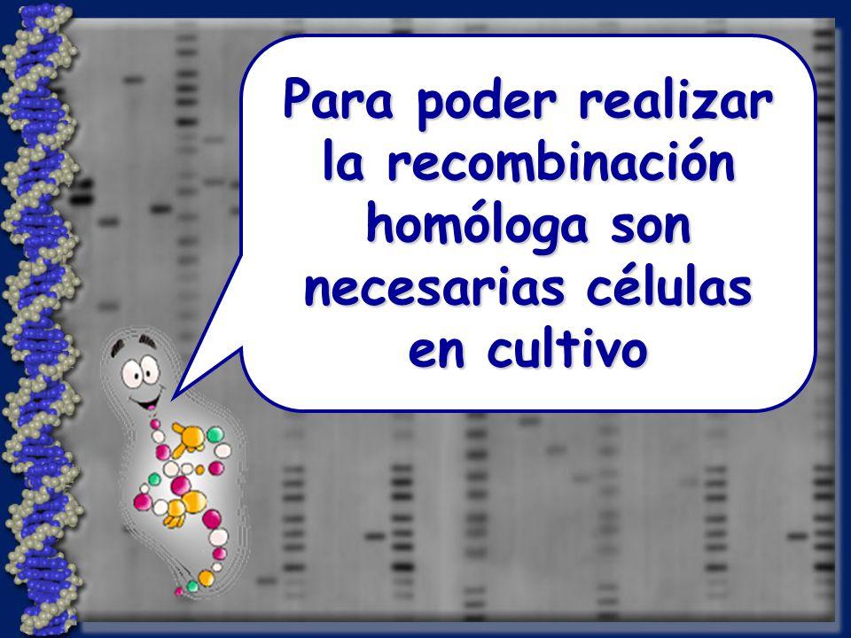 Para poder realizar la recombinación homóloga son necesarias células en cultivo