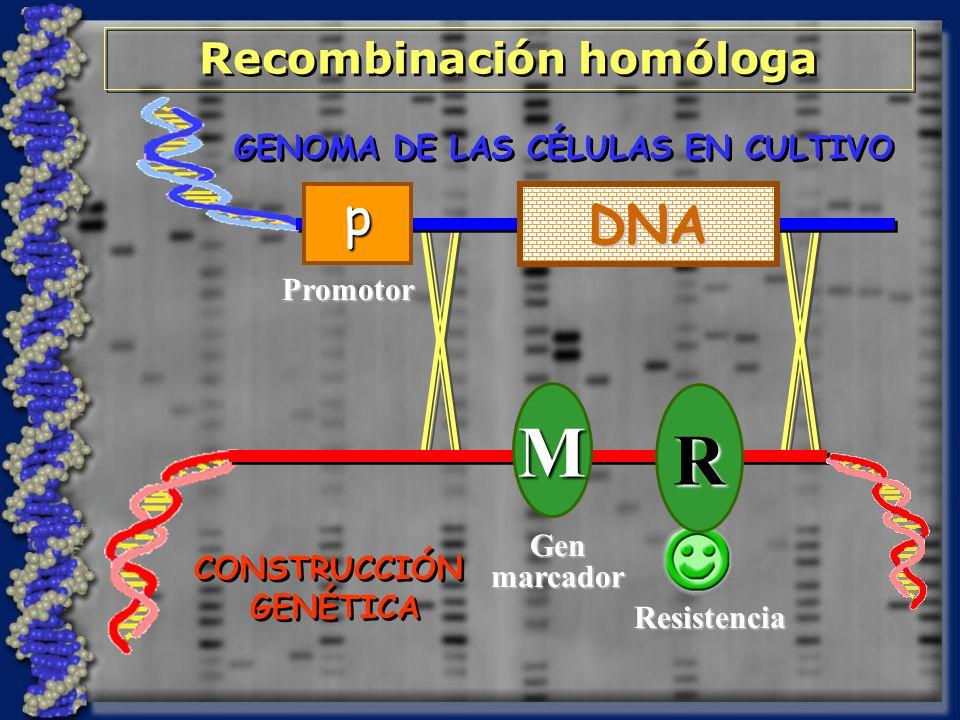 GENOMA DE LAS CÉLULAS EN CULTIVO CONSTRUCCIÓN GENÉTICA CONSTRUCCIÓN GENÉTICA M Genmarcador R Resistencia Recombinación homóloga Promotor p DNA