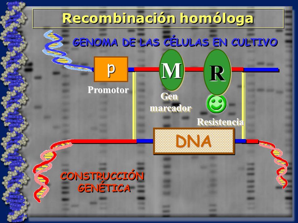 GENOMA DE LAS CÉLULAS EN CULTIVO Recombinación homóloga DNADNA MM GenmarcadorGenmarcadorRRResistenciaResistencia Promotor p CONSTRUCCIÓN GENÉTICA CONSTRUCCIÓN GENÉTICA