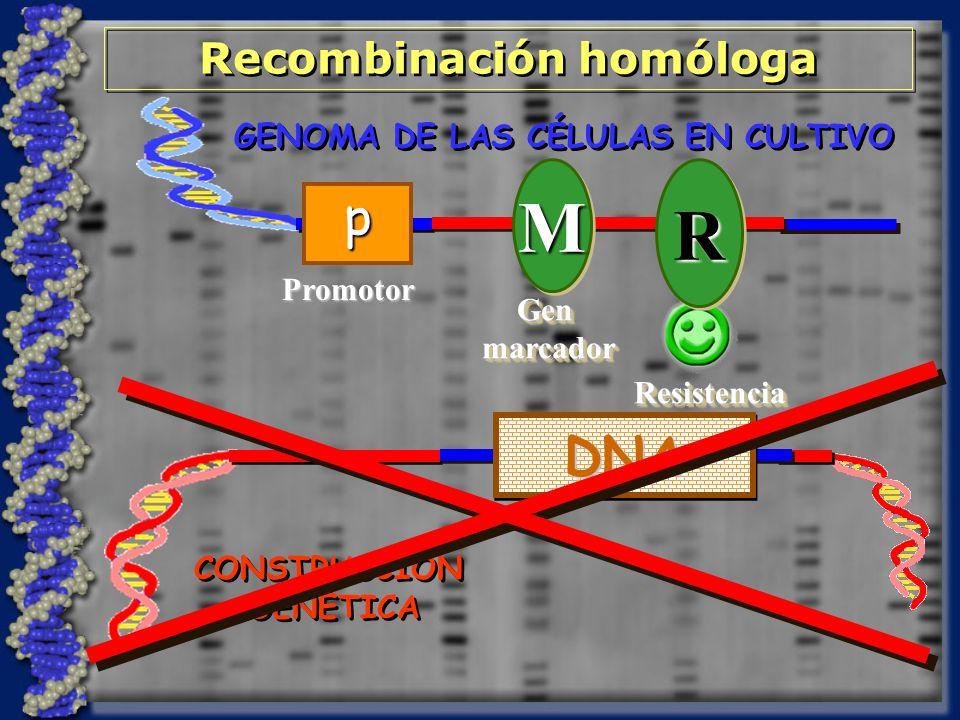 CONSTRUCCIÓN GENÉTICA CONSTRUCCIÓN GENÉTICA GENOMA DE LAS CÉLULAS EN CULTIVO Recombinación homóloga DNADNA MM GenmarcadorGenmarcadorRRResistenciaResistencia Promotor p