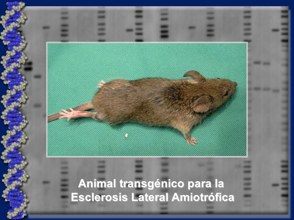 - Retrovirus - Liposomas - Elementos P - Retrovirus - Liposomas - Elementos P IN VIVO IN VITRO SÓLO EN CULTIVOS CELULARES DIRECTOS INDIRECTOS - Espermatozoides - Biolística - Microinyección - Espermatozoides - Biolística - Microinyección