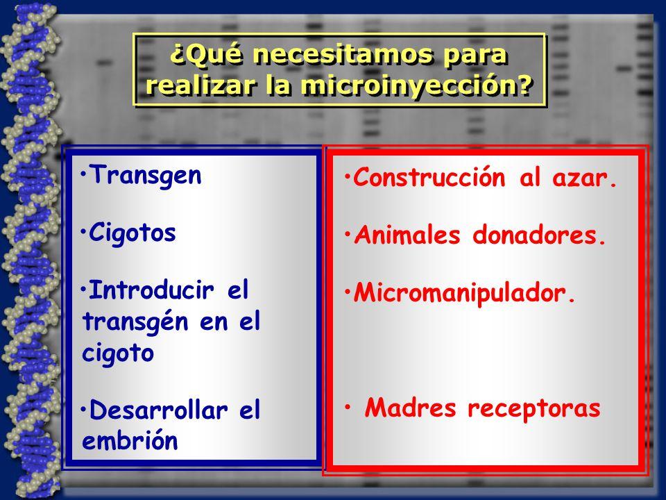 Transgen Cigotos Introducir el transgén en el cigoto Desarrollar el embrión Construcción al azar.