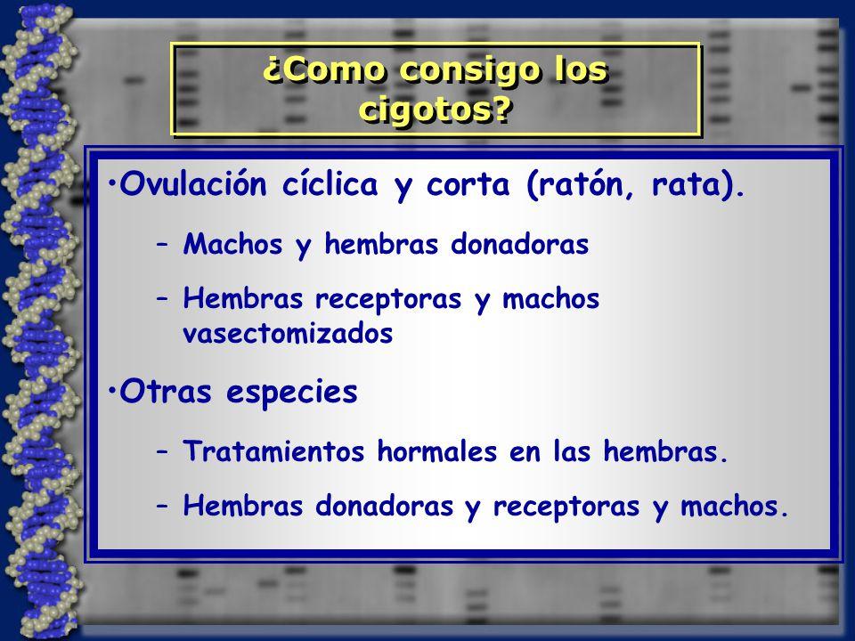 Ovulación cíclica y corta (ratón, rata).