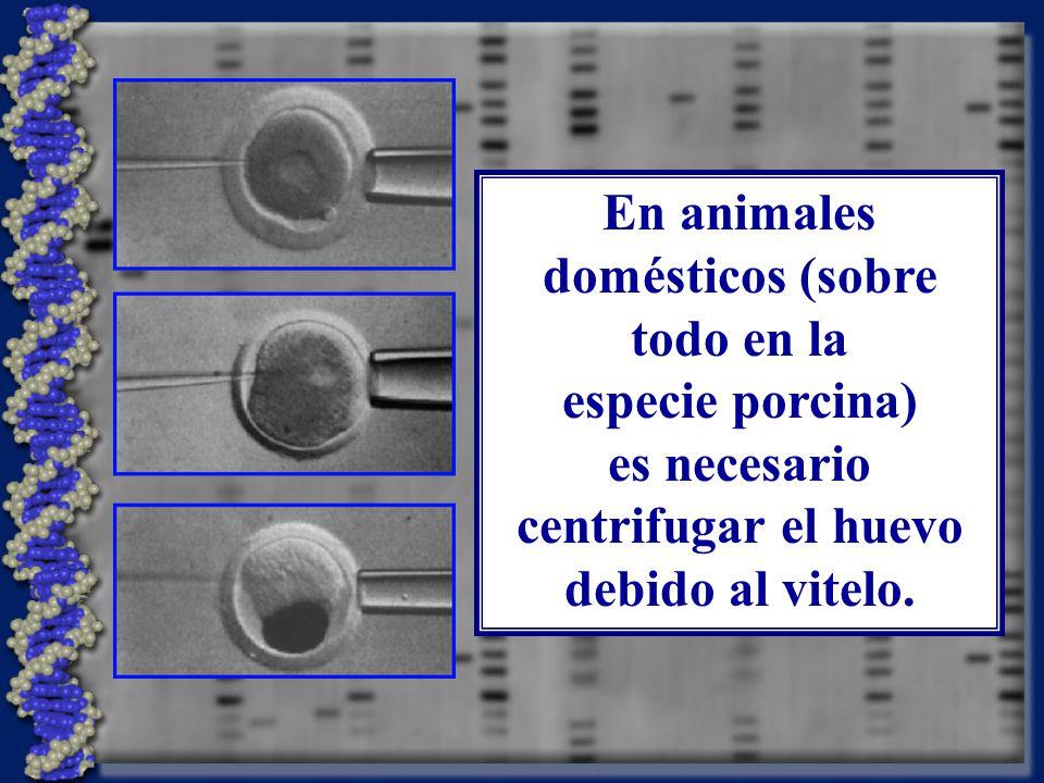 En animales domésticos (sobre todo en la especie porcina) es necesario centrifugar el huevo debido al vitelo.