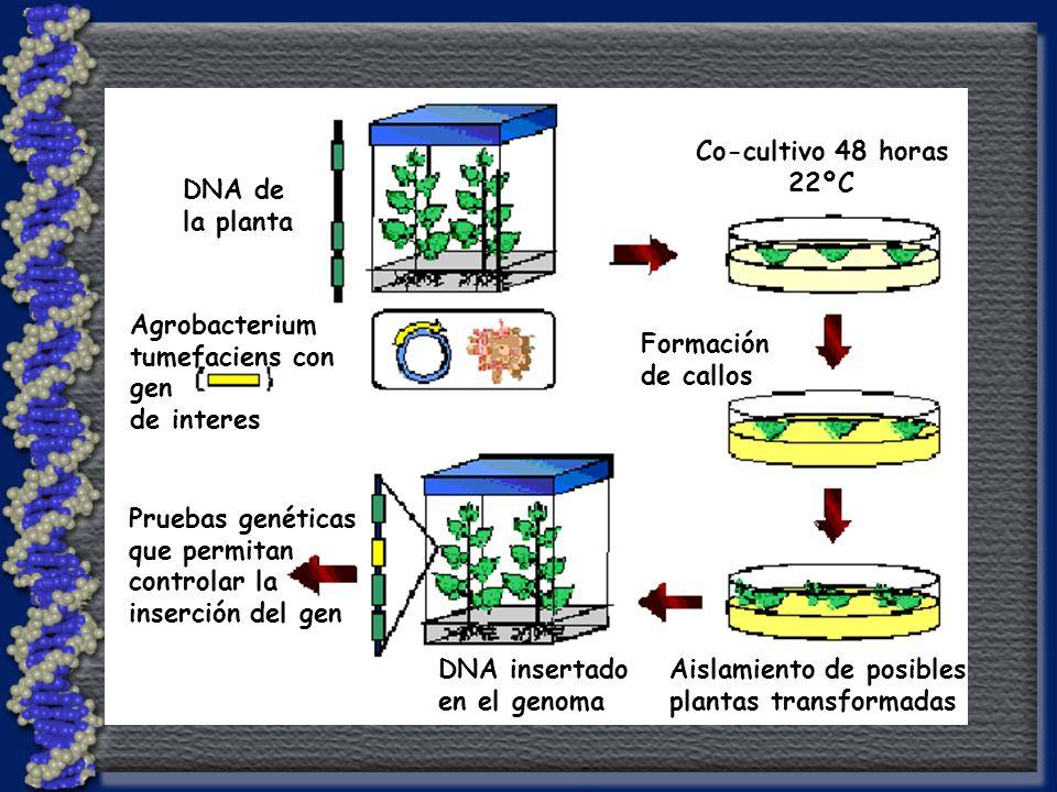 Agrobacterium tumefaciens con gen de interes DNA de la planta Co-cultivo 48 horas 22ºC Formación de callos Aislamiento de posibles plantas transformadas DNA insertado en el genoma Pruebas genéticas que permitan controlar la inserción del gen