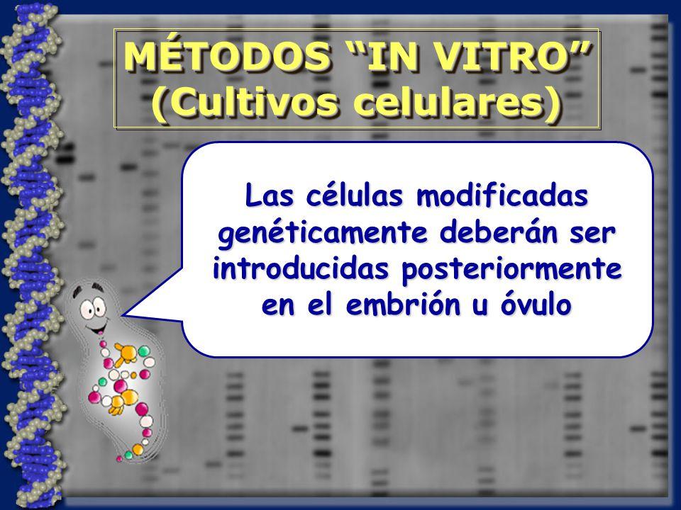 MÉTODOS IN VITRO (Cultivos celulares) MÉTODOS IN VITRO (Cultivos celulares) Las células modificadas genéticamente deberán ser introducidas posteriormente en el embrión u óvulo