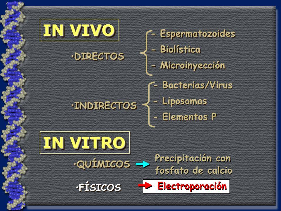 IN VIVO IN VITRO DIRECTOS INDIRECTOS - Espermatozoides - Biolística - Microinyección - Espermatozoides - Biolística - Microinyección - Bacterias/Virus - Liposomas - Elementos P - Bacterias/Virus - Liposomas - Elementos P QUÍMICOS FÍSICOS Precipitación con fosfato de calcio Precipitación con fosfato de calcio Electroporación
