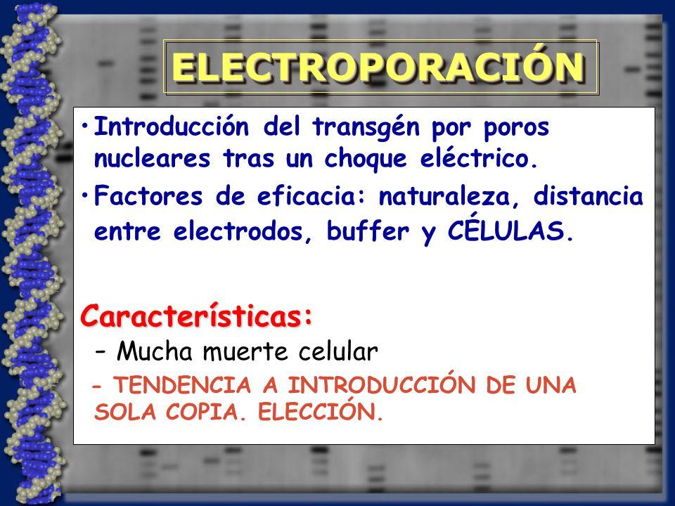 ELECTROPORACIÓNELECTROPORACIÓN Introducción del transgén por poros nucleares tras un choque eléctrico.