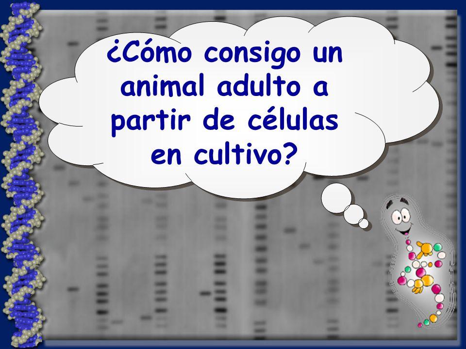 ¿Cómo consigo un animal adulto a partir de células en cultivo?