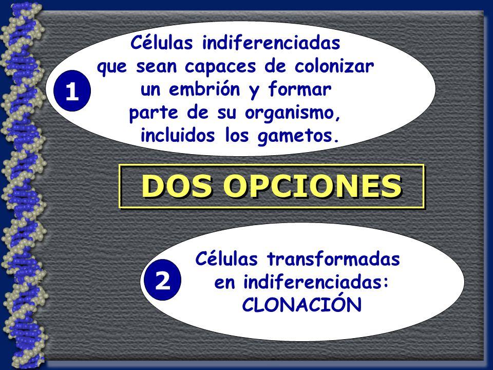 DOS OPCIONES Células indiferenciadas que sean capaces de colonizar un embrión y formar parte de su organismo, incluidos los gametos.