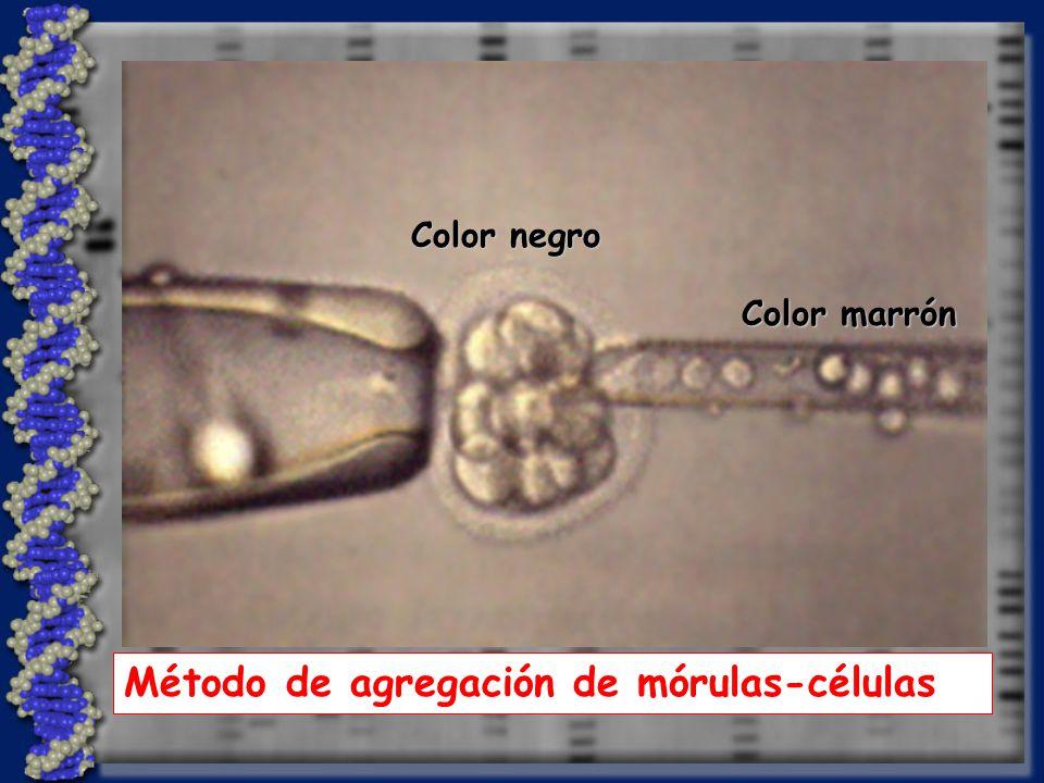 Color negro Color marrón Método de agregación de mórulas-células