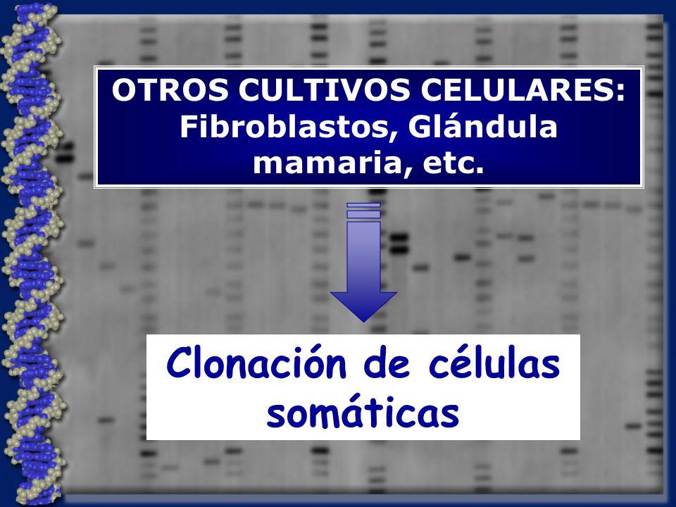 OTROS CULTIVOS CELULARES: Fibroblastos, Glándula mamaria, etc. Clonación de células somáticas