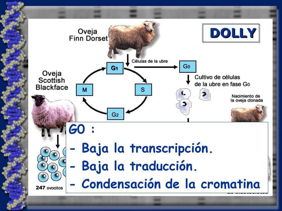 G0 : - Baja la transcripción. - Baja la traducción. - Condensación de la cromatina