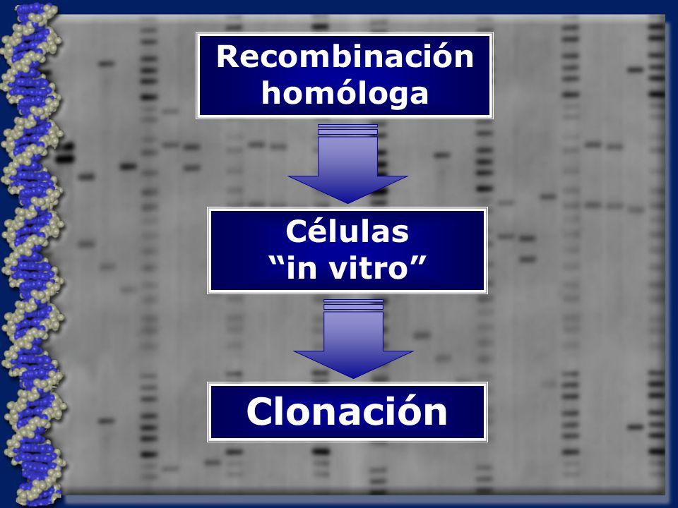 Recombinación homóloga Células in vitro Clonación