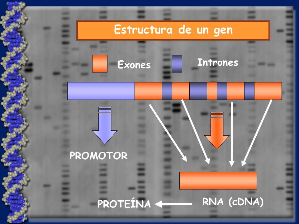 Estructura de un gen PROMOTOR RNA (cDNA) Intrones Exones PROTEÍNA