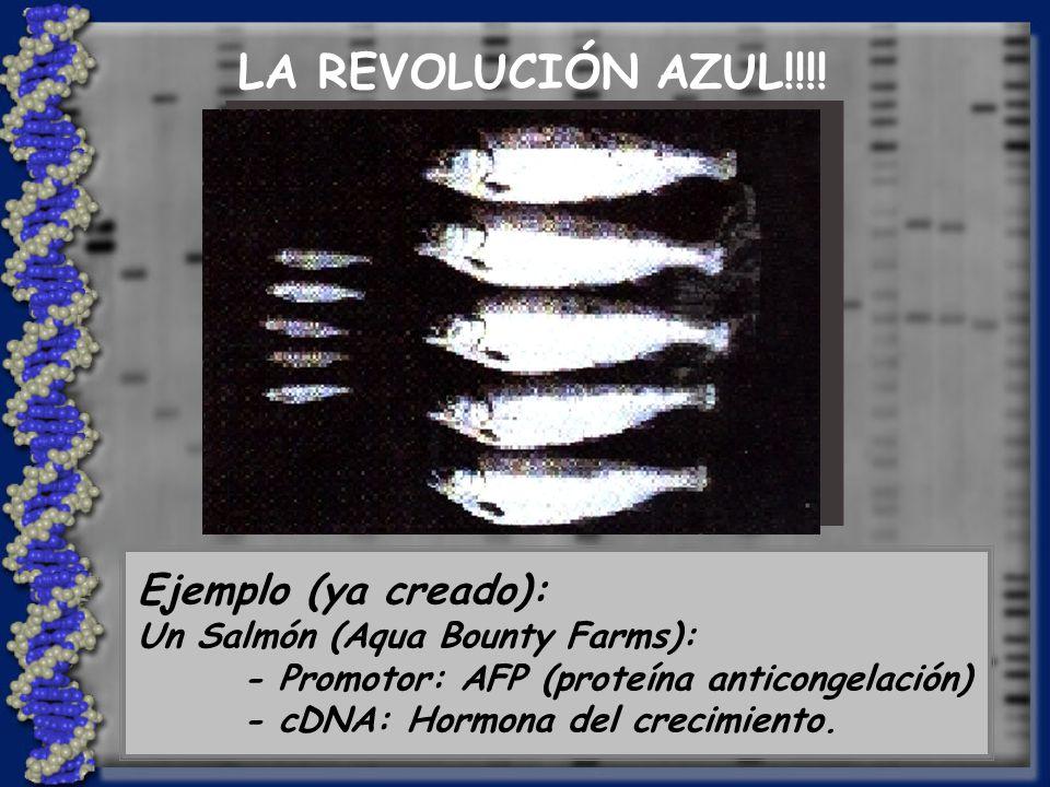 Ejemplo (ya creado): Un Salmón (Aqua Bounty Farms): - Promotor: AFP (proteína anticongelación) - cDNA: Hormona del crecimiento.