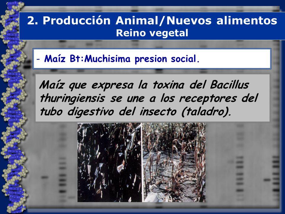2. Producción Animal/Nuevos alimentos Reino vegetal Maíz que expresa la toxina del Bacillus thuringiensis se une a los receptores del tubo digestivo d