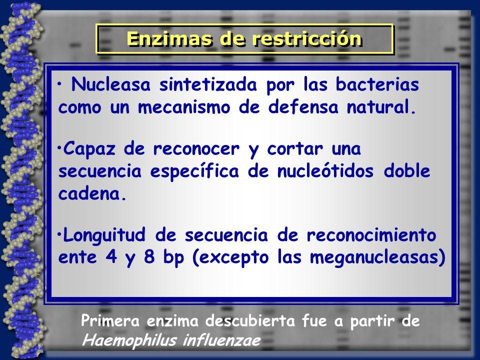 Enzimas de restricción Nucleasa sintetizada por las bacterias como un mecanismo de defensa natural. Capaz de reconocer y cortar una secuencia específi
