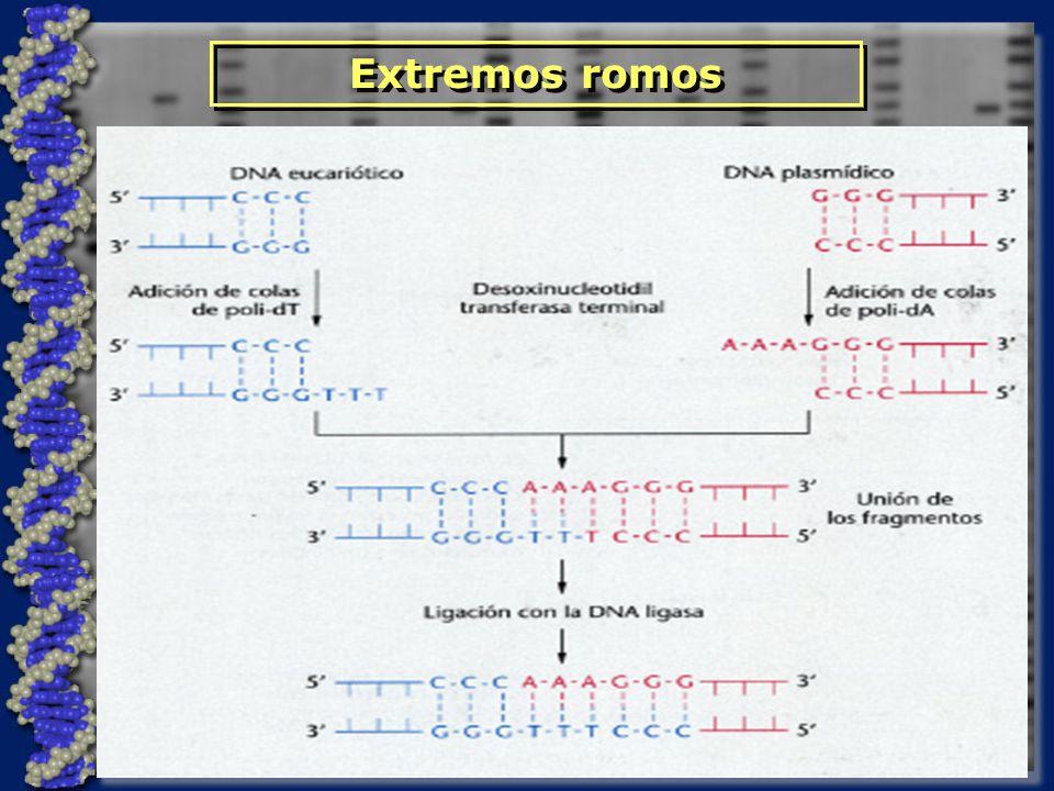 ¿Enzimas? Clonación de DNA Técnicas básicas clásicas