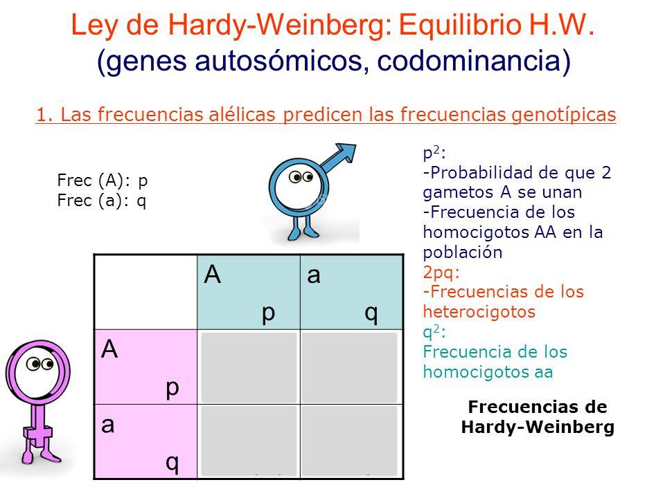 Ley de Hardy-Weinberg: Equilibrio H.W.(genes autosómicos, codominancia) 1.