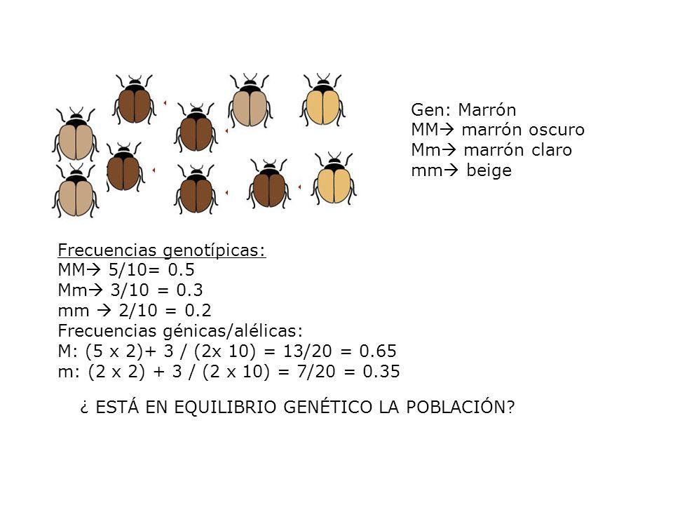 Gen: Marrón MM marrón oscuro Mm marrón claro mm beige ¿ ESTÁ EN EQUILIBRIO GENÉTICO LA POBLACIÓN.