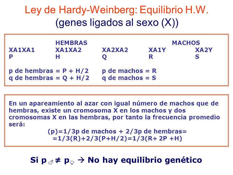 HEMBRASMACHOS XA1XA1XA1XA2XA2XA2XA1YXA2Y PHQRS p de hembras = P + H/2p de machos = R q de hembras = Q + H/2q de machos = S En un apareamiento al azar con igual número de machos que de hembras, existe un cromosoma X en los machos y dos cromosomas X en las hembras, por tanto la frecuencia promedio será: (p)=1/3p de machos + 2/3p de hembras= =1/3(R)+2/3(P+H/2)=1/3(R+ 2P +H) Ley de Hardy-Weinberg: Equilibrio H.W.