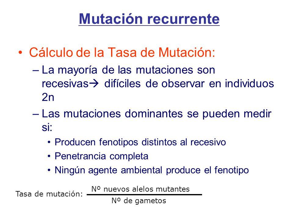 Cálculo de la Tasa de Mutación: –La mayoría de las mutaciones son recesivas difíciles de observar en individuos 2n –Las mutaciones dominantes se pueden medir si: Producen fenotipos distintos al recesivo Penetrancia completa Ningún agente ambiental produce el fenotipo Tasa de mutación: Nº nuevos alelos mutantes Nº de gametos Mutación recurrente