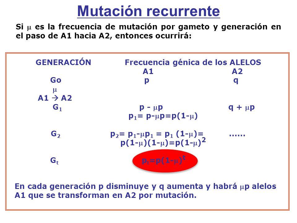 Si es la frecuencia de mutación por gameto y generación en el paso de A1 hacia A2, entonces ocurrirá: GENERACIÓNFrecuencia génica de los ALELOS A1A2 Go p q A1 A2 G 1 p - pq + p p 1 = p-p=p(1-) G 2 p 2 = p 1 -p 1 = p 1 (1-)=......