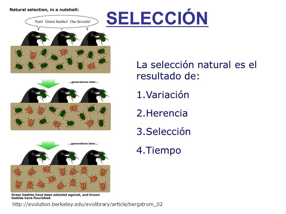 SELECCIÓN http://evolution.berkeley.edu/evolibrary/article/bergstrom_02 La selección natural es el resultado de: 1.Variación 2.Herencia 3.Selección 4.Tiempo