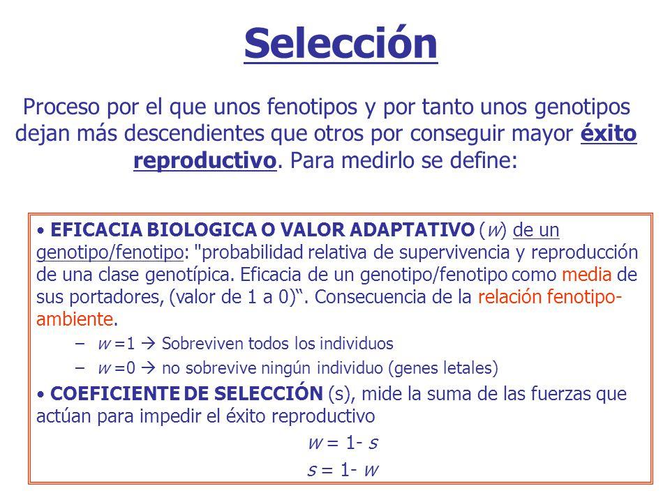 Selección Proceso por el que unos fenotipos y por tanto unos genotipos dejan más descendientes que otros por conseguir mayor éxito reproductivo.