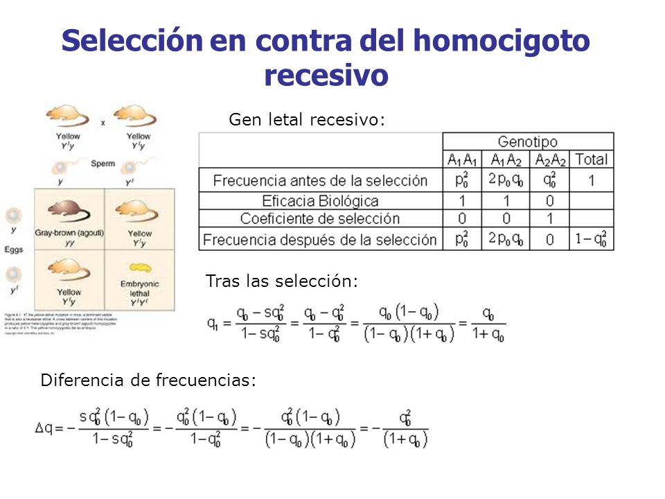 Selección en contra del homocigoto recesivo Gen letal recesivo: Tras las selección: Diferencia de frecuencias: