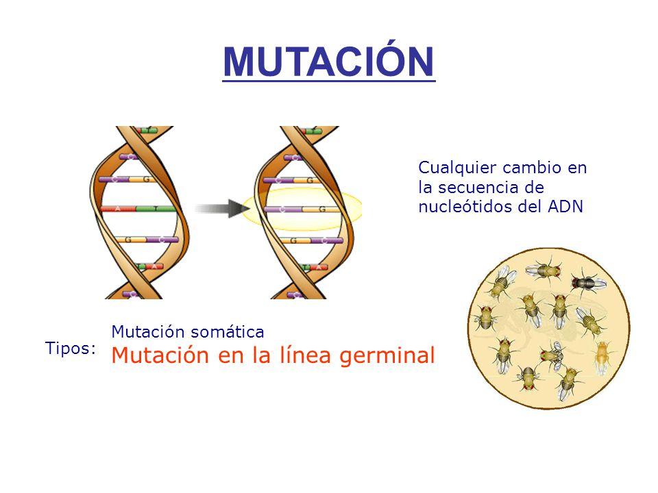 MUTACIÓN Cualquier cambio en la secuencia de nucleótidos del ADN Tipos: Mutación somática Mutación en la línea germinal