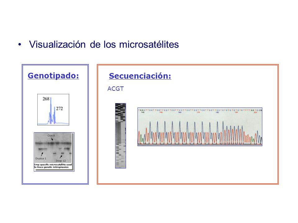 Visualización de los microsatélites ACGT Secuenciación: Genotipado: