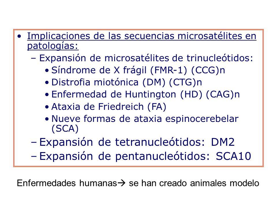 Implicaciones de las secuencias microsatélites en patologías: –Expansión de microsatélites de trinucleótidos: Síndrome de X frágil (FMR-1) (CCG)n Distrofia miotónica (DM) (CTG)n Enfermedad de Huntington (HD) (CAG)n Ataxia de Friedreich (FA) Nueve formas de ataxia espinocerebelar (SCA) –Expansión de tetranucleótidos: DM2 –Expansión de pentanucleótidos: SCA10 Enfermedades humanas se han creado animales modelo