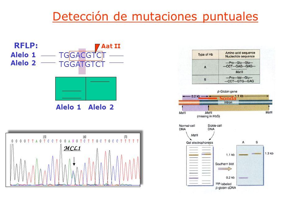 Detección de mutaciones puntuales RFLP: Alelo 1 Alelo 2 TGGACGTCT TGGATGTCT MCL1 Aat II Alelo 1 Alelo 2 Sonda