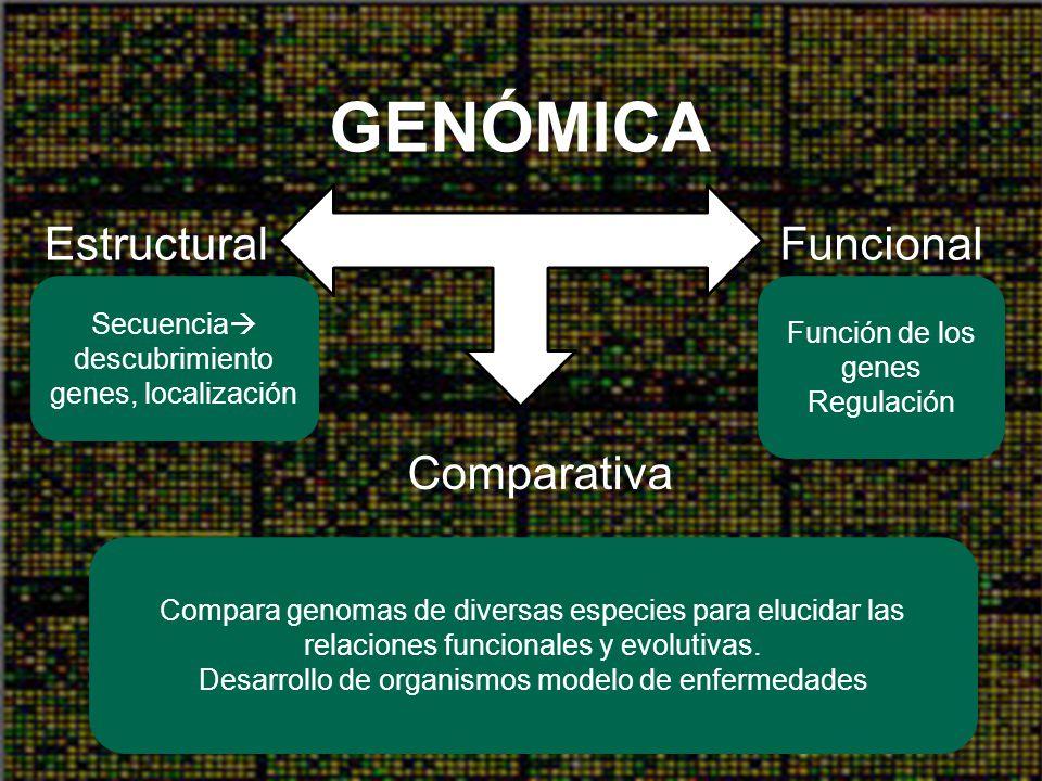 Genómica ESTRUCTURAL: –Caracterización de la naturaleza física de genomas completos FUNCIONAL: –Caracterización del proteoma y de los patrones globales de expresión génica Caracterización molecular de genomas completos