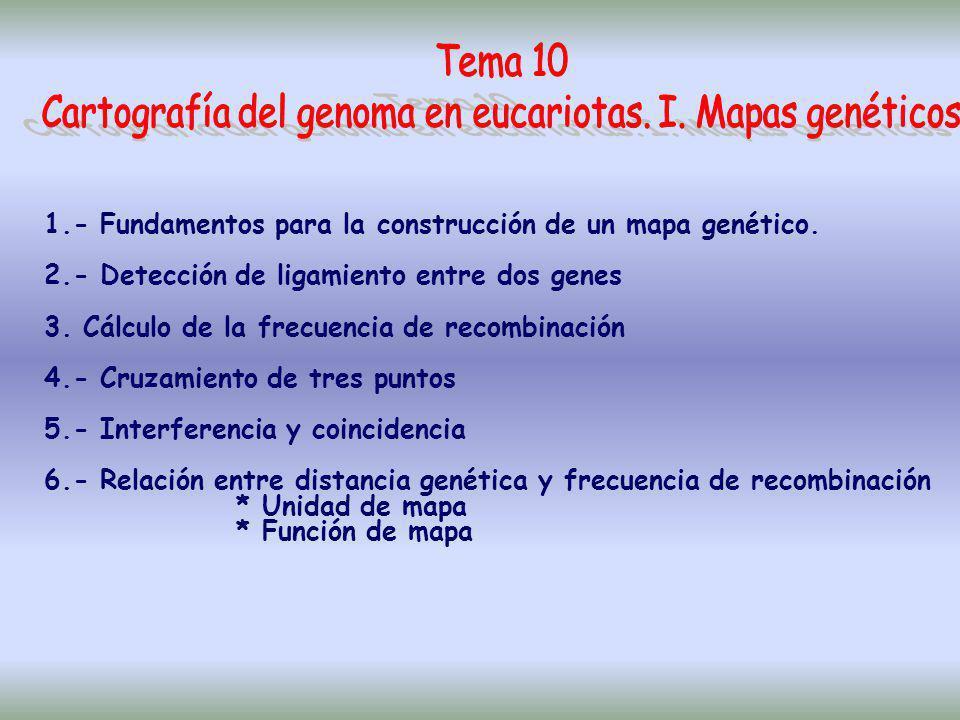 CARTOGRAFÍA DEL GENOMA EN EUCARIOTAS I.- MAPA GENÉTICOTEMA 10 Localización de genes basada en frecuencia de recombinación II.- MAPA FÍSICO TEMA 11 Localización de genes basada en: - Hibridación somática interespecífica - FISH - Secuenciación....