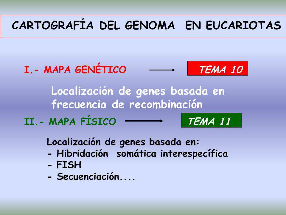 CARTOGRAFÍA DEL GENOMA EN EUCARIOTAS I.- MAPA GENÉTICOTEMA 10 Localización de genes basada en frecuencia de recombinación II.- MAPA FÍSICO TEMA 11 Loc