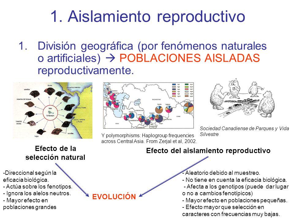 1. Aislamiento reproductivo 1.División geográfica (por fenómenos naturales o artificiales) POBLACIONES AISLADAS reproductivamente. Efecto de la selecc