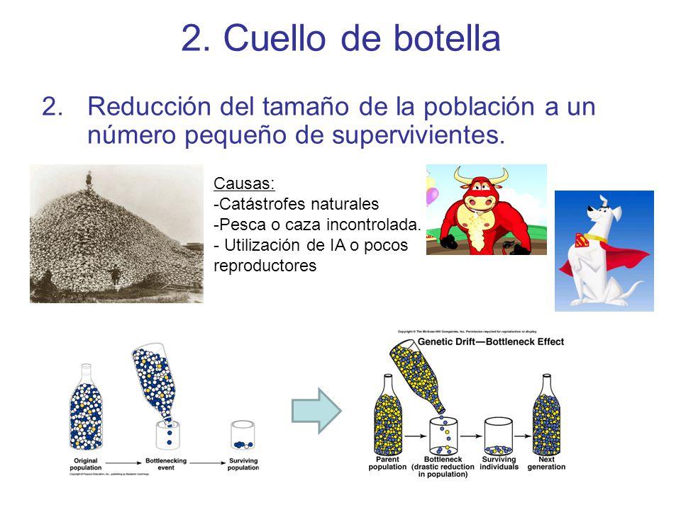 2.Cuello de botella 2.Reducción del tamaño de la población a un número pequeño de supervivientes.