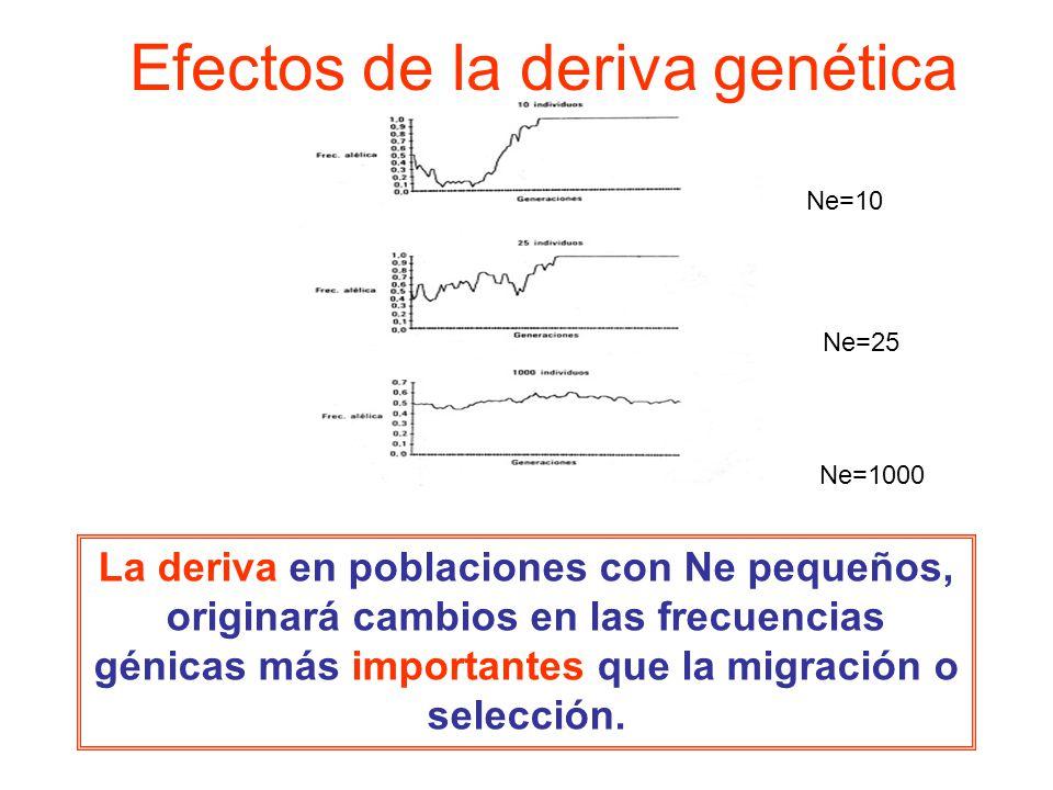 Ne=10 Ne=25 Ne=1000 La deriva en poblaciones con Ne pequeños, originará cambios en las frecuencias génicas más importantes que la migración o selección.