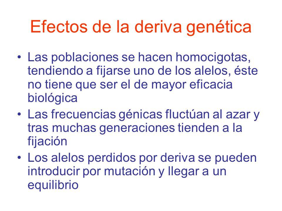 Las poblaciones se hacen homocigotas, tendiendo a fijarse uno de los alelos, éste no tiene que ser el de mayor eficacia biológica Las frecuencias génicas fluctúan al azar y tras muchas generaciones tienden a la fijación Los alelos perdidos por deriva se pueden introducir por mutación y llegar a un equilibrio