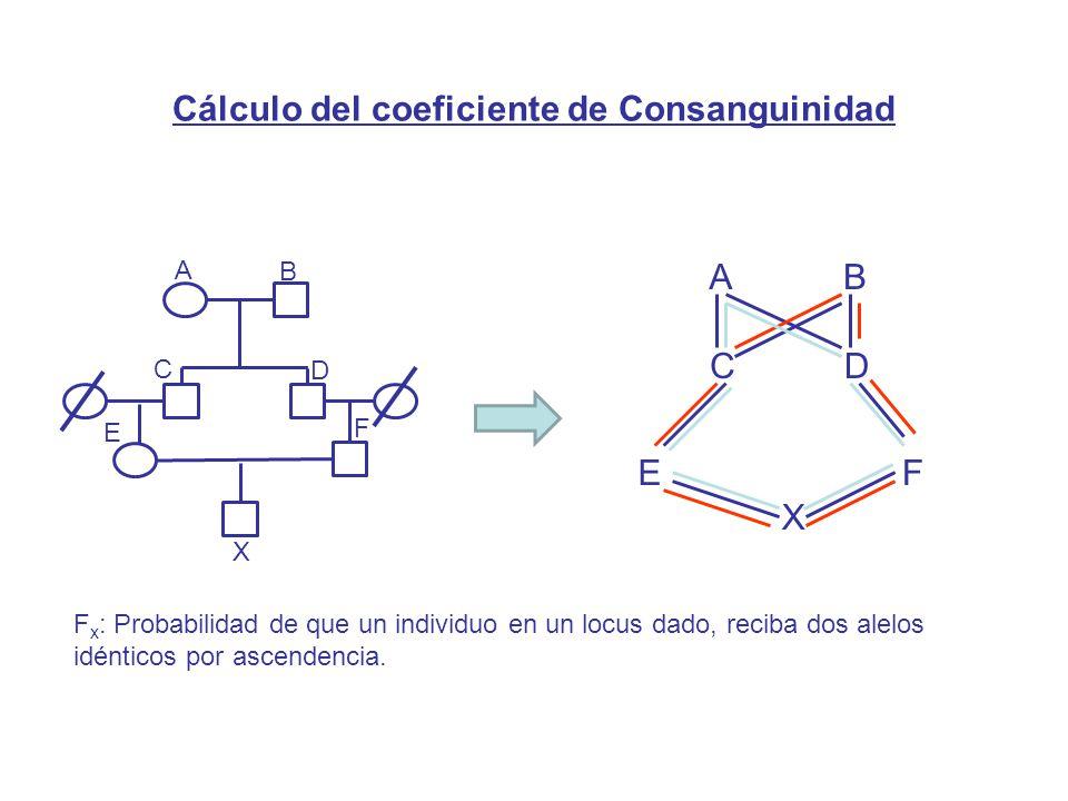 AB CD X EF F x : Probabilidad de que un individuo en un locus dado, reciba dos alelos idénticos por ascendencia.