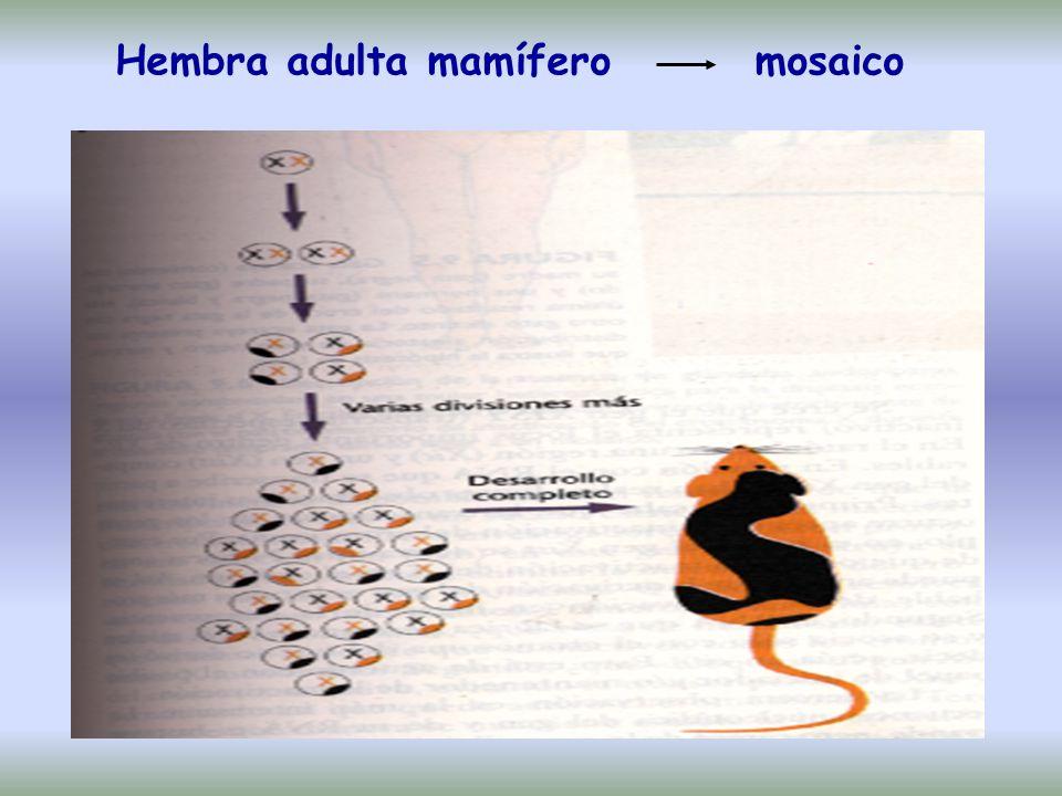 Hembra adulta mamífero mosaico