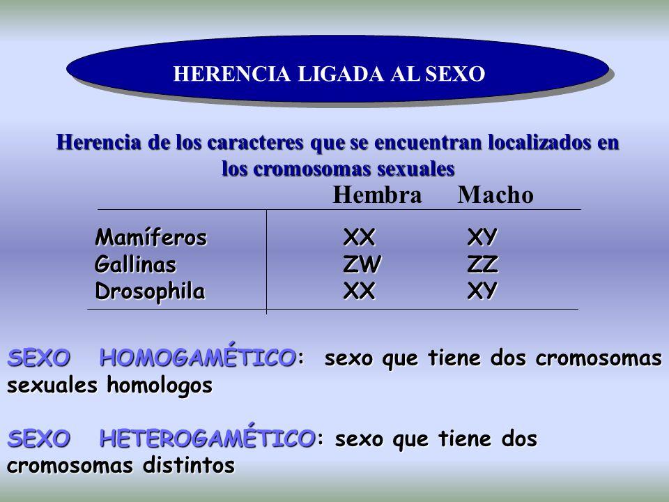HERENCIA LIGADA AL SEXO Herencia de los caracteres que se encuentran localizados en los cromosomas sexuales Hembra Macho Mamíferos XX XY Gallinas ZW ZZ Drosophila XX XY SEXO HOMOGAMÉTICO: sexo que tiene dos cromosomas sexuales homologos SEXO HETEROGAMÉTICO: sexo que tiene dos cromosomas distintos
