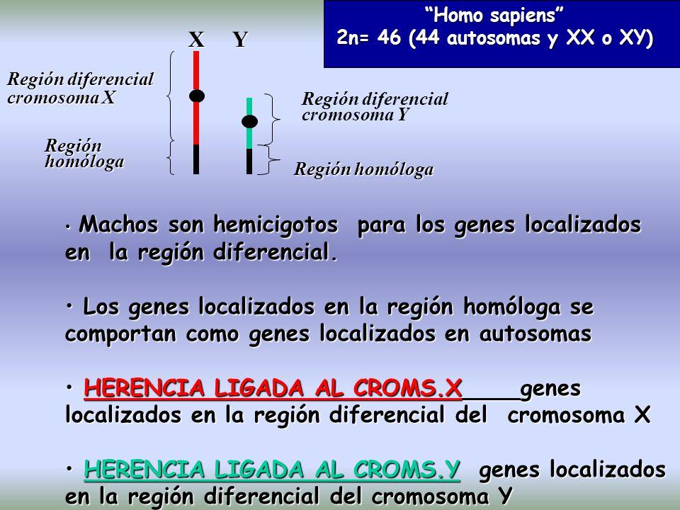 X Y Región diferencial cromosoma X Región diferencial cromosoma Y Región homóloga Machos son hemicigotos para los genes localizados en la región diferencial.