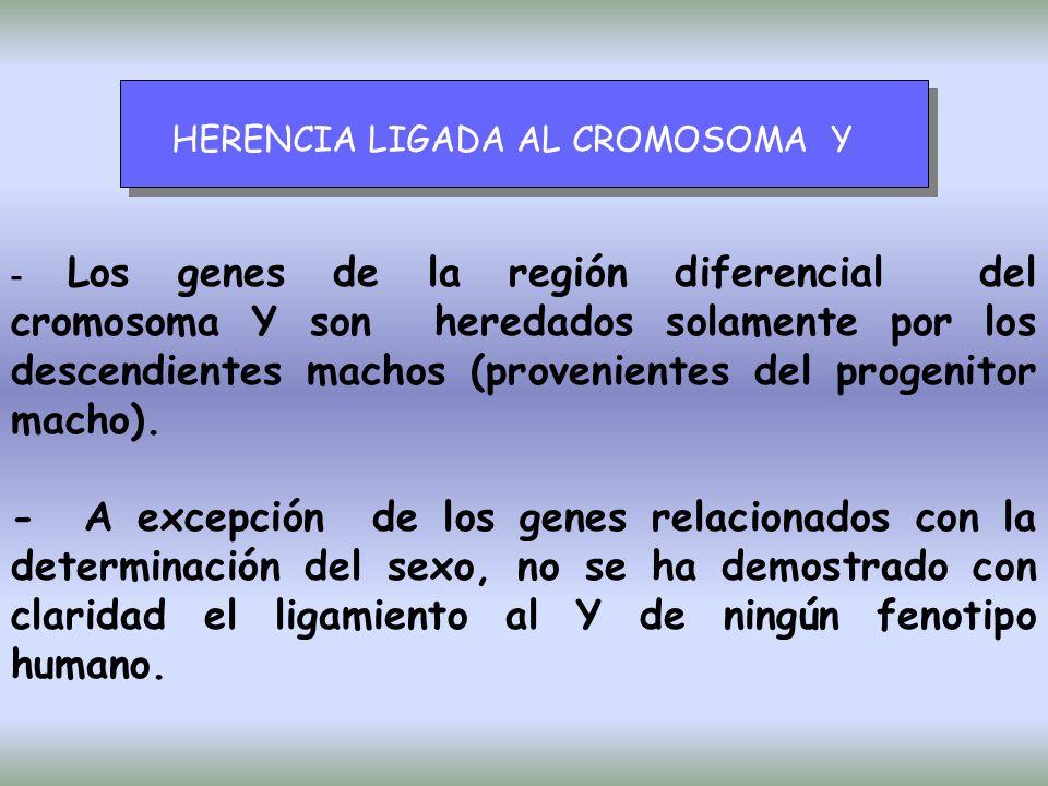 HERENCIA LIGADA AL CROMOSOMA Y - Los genes de la región diferencial del cromosoma Y son heredados solamente por los descendientes machos (provenientes del progenitor macho).