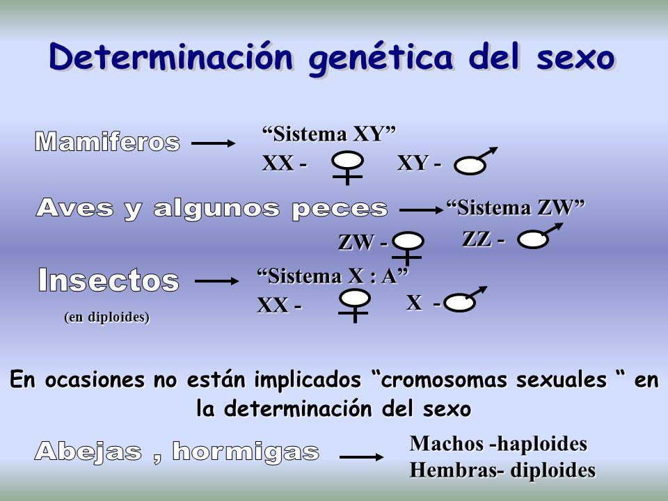 Sistema XY XX - XY - Sistema ZW ZW - ZZ - X - Sistema X : A XX - En ocasiones no están implicados cromosomas sexuales en la determinación del sexo Machos -haploides Hembras- diploides (en diploides)